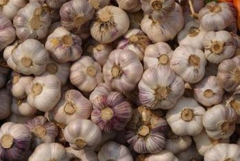 Index Of Resources Agriculture Garlic How Long Does It Take
